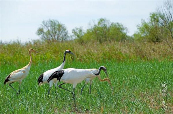 丹顶鹤等12种,国家二级保护鸟类灰鹤,大天鹅等51种,是东北亚内陆和环